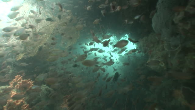 Schools of fish swim in coral caverns of the Mekong River.
