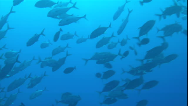 schools of fish swim in the ocean. - pacific ocean stock videos & royalty-free footage