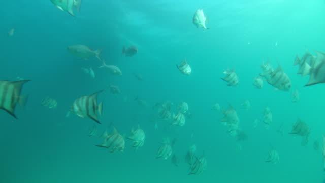 schools of fish swim slowly in pristine ocean water. - エンゼルフィッシュ点の映像素材/bロール