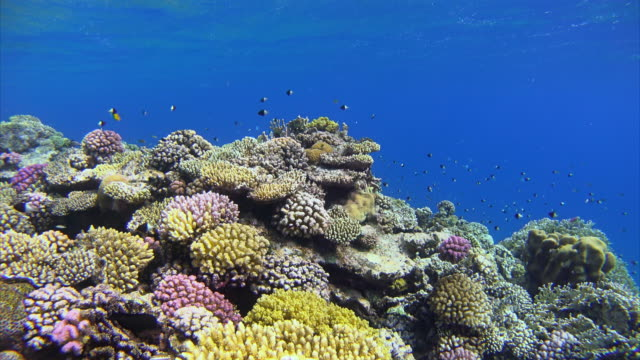 Schools of fishes on beautiful coral reef at Red Sea