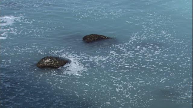schools of herring spawn along the coast of otaru in hokkaido, japan. - spawning stock videos and b-roll footage