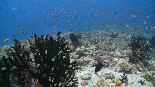 Schools of Scalefin and Yellowback Anthias (Pseudanthias squamipinnis and evansi) with Twotone Chromis (Chromis punctipinnis) on coral reef, Vaavu Atoll, The Maldives