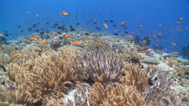 Schools of Scalefin Anthias (Pseudanthias squamipinnis) and Redtooth Triggerfish (Odonus niger)over Leather Coral garden, Vaavu Atoll, The Maldives