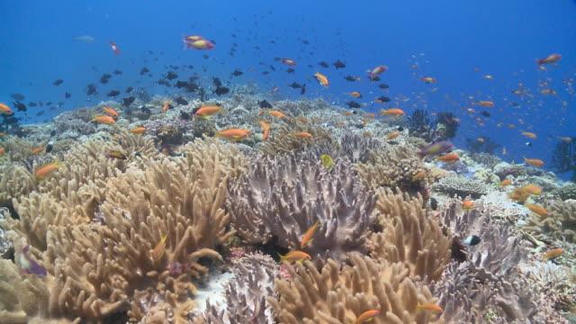 vídeos de stock e filmes b-roll de schools of scalefin anthias (pseudanthias squamipinnis) and redtooth triggerfish (odonus niger)over leather coral garden, vaavu atoll, the maldives - coral macio