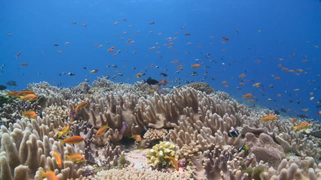 Schools of Scalefin Anthias (Pseudanthias squamipinnis) and Twotone Chromis (Chromis dimidiata) over Leather Coral garden, Vaavu Atoll, The Maldives