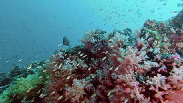 schools of tropical anthias fish on abundant colorful underwater hemprich soft coral reef - anthias fish stock videos & royalty-free footage