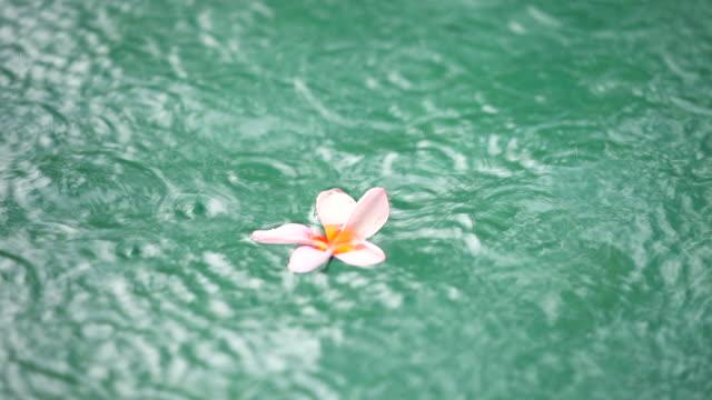 Schwimmende Frangipane Blüte