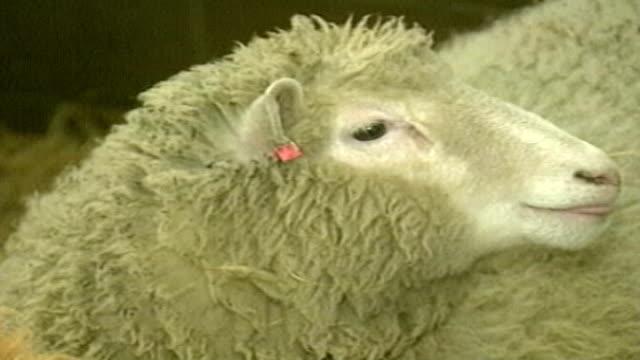 vídeos y material grabado en eventos de stock de calf of cloned mother reared in britain tx scotland edinburgh roslin institute int dolly the cloned sheep dissolve to - clonación