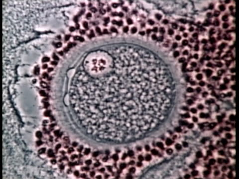 1976 Scientific micrograph of fertilised human egg / United States / AUDIO