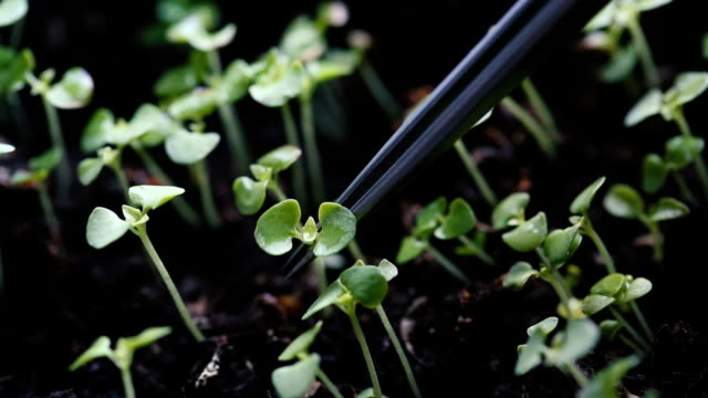 vídeos de stock e filmes b-roll de scientist carefully examining just germinated young seedlings sprouting from the soil - inseticida