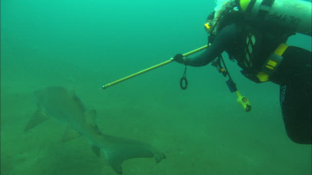 scientist diver tags shark, angle from above. north carolina, atlantic ocean  - wildlife tracking tag stock videos and b-roll footage