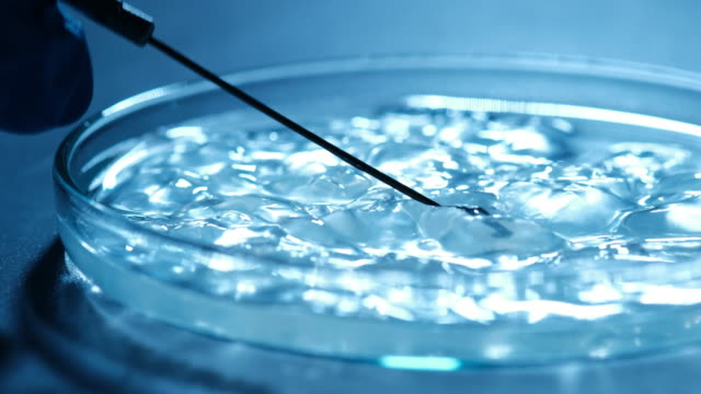 Scientist examines bacteria on petri dish