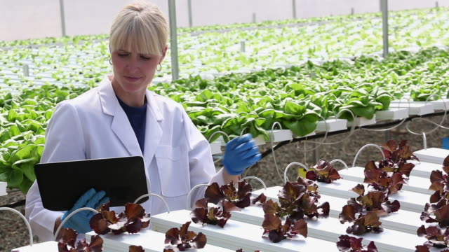 MS PAN Scientist Examining Produce in Hydroponic Lettuce Farm Greenhouse / Richmond, Virginia, United States