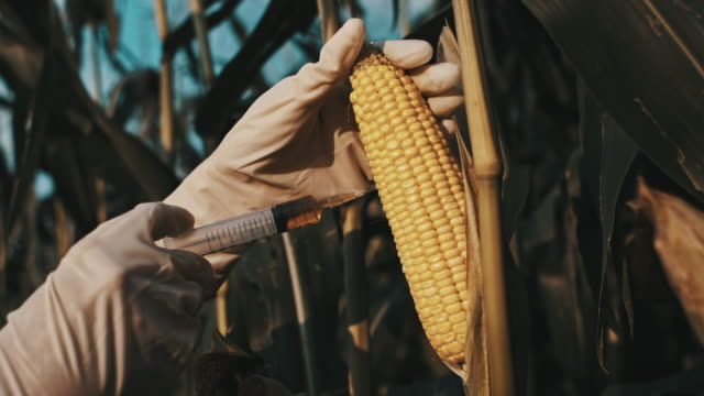 ds scientist genetically modifying the corn - biotechnology stock videos & royalty-free footage