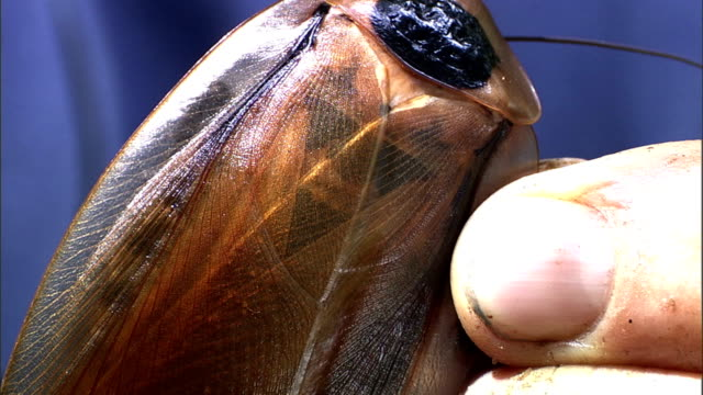 a scientist gently folds the wings of a black-haired-cockroach. - gliedmaßen körperteile stock-videos und b-roll-filmmaterial