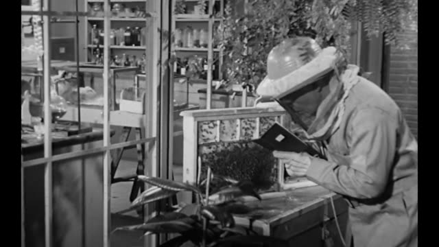 1959 scientist in netted hat makes notes on wasps in glass covered hive - report produced segment stock videos & royalty-free footage