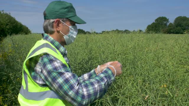 scientist taking samples of oil seed rape crop - oilseed rape stock videos & royalty-free footage