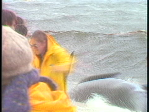 scientists and volunteers rescue 25 of 50 beached whales in massachusetts. - 浜辺に打ち上げられた点の映像素材/bロール