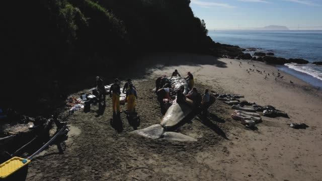 stockvideo's en b-roll-footage met scientists and volunteers with the marine mammal center and california academy of sciences perform a necropsy on a beached grey whale on april 23... - cetacea