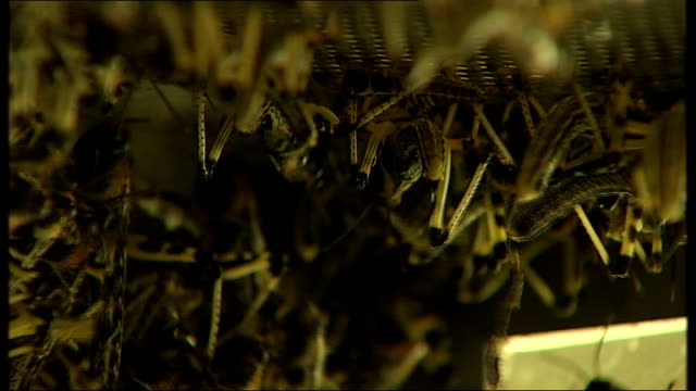 scientists discover what makes locusts swarm dr steve rogers interview sot close up of mass of locusts in enclosure reporter to camera cutaways of... - enclosure stock videos & royalty-free footage