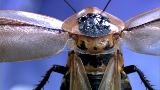 a scientists examines a black-haired cockroach while spreading its wings. - gliedmaßen körperteile stock-videos und b-roll-filmmaterial