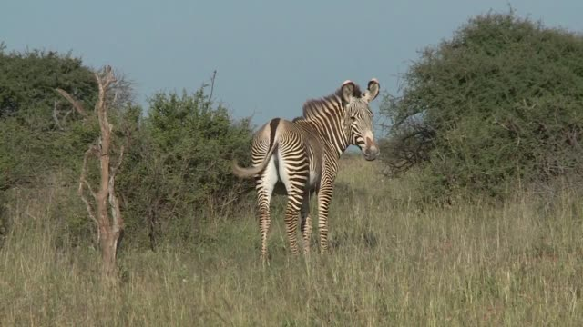 scientists in kenya are counting a threatened species of zebra using their stripes as a natural barcode - threatened species stock videos & royalty-free footage