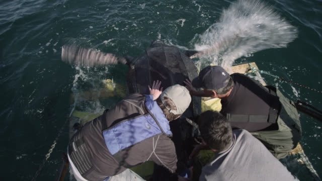 """scientists release leatherback turtle, canada - """"bbc natural history"""" stock videos & royalty-free footage"""