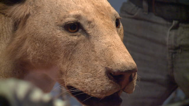 wgn scientists xrayed one of the stuffed lions part of the 'lions of the tsavo' display at the field museum on nov 21 2017 in 2016 they discovered... - camp x ray stock videos & royalty-free footage
