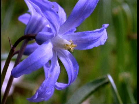 CU Scilla flower, England, UK