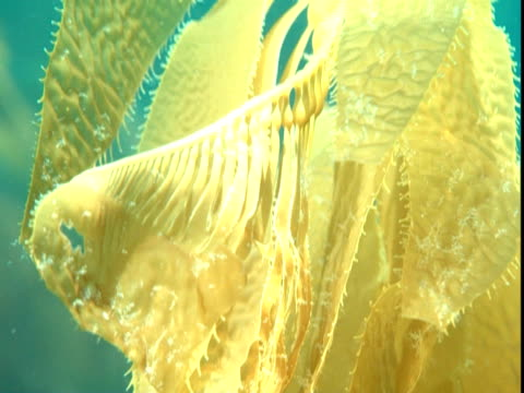 scimitar blade of kelp sways in sun-dappled water. - kelp stock-videos und b-roll-filmmaterial