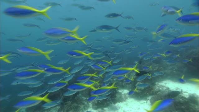 Scissor-tailed fusiliers (Caesio caerulaurea) and yellowback fusiliers (Caesio teres) swim over coral reef, West Papua, Indonesia