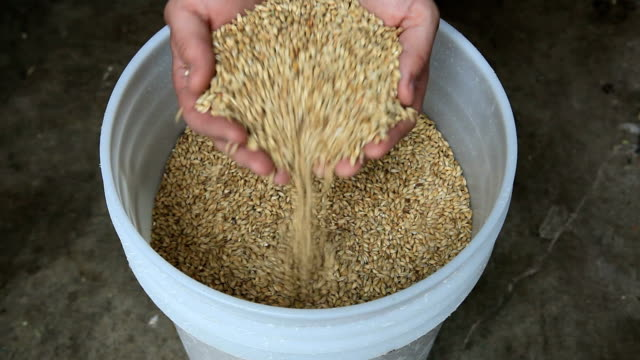 Scooping up a handful of Malted Barley