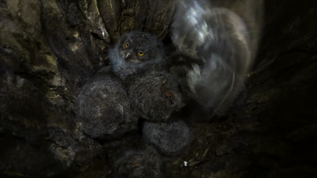 scops owl babies in their nest - zoology stock videos & royalty-free footage