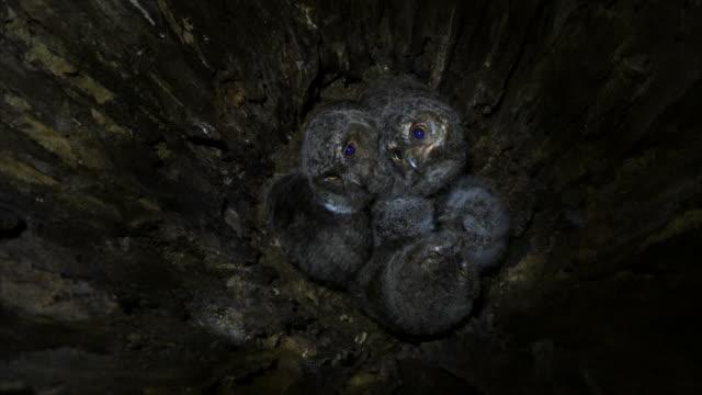 vídeos de stock e filmes b-roll de scops owl babies inside their nest - criação animal
