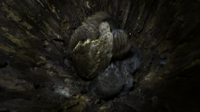 scops owl feeding its babies in the nest - group of animals stock videos & royalty-free footage