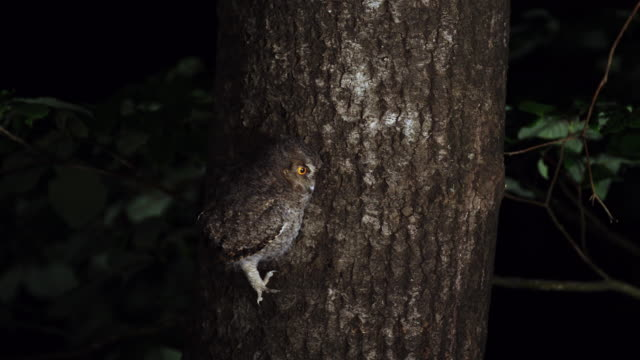 scops owl flying away from a tree at night - zoology stock videos & royalty-free footage