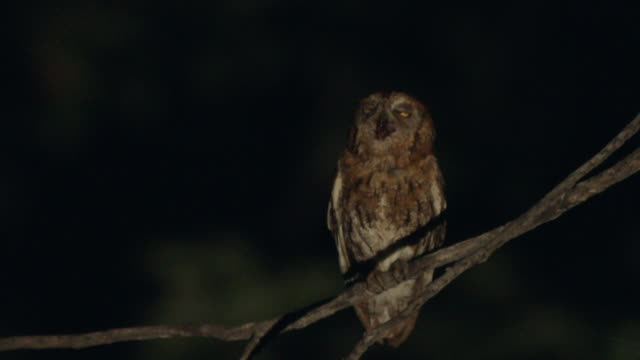 scops owl screeching at night/ dmz (demilitarized zone between south and north korea), goseong-gun - owl stock videos & royalty-free footage
