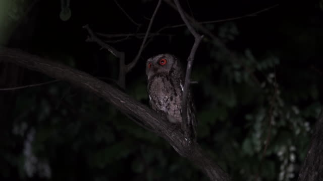 scops owl sitting on a tree branch at night - zoology stock videos & royalty-free footage