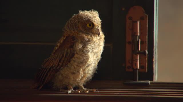 A scops owl standing indoors