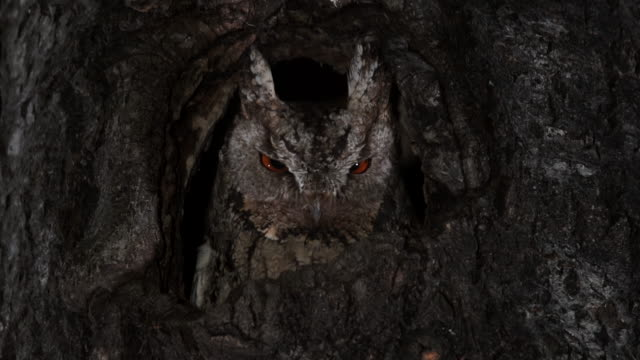 scops owl staring from its nest at night - owl stock videos & royalty-free footage
