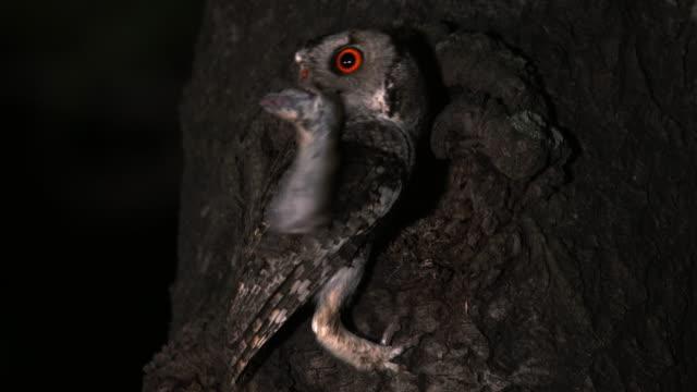 vídeos de stock e filmes b-roll de scops owl with a mouse in its mouth at night - caça
