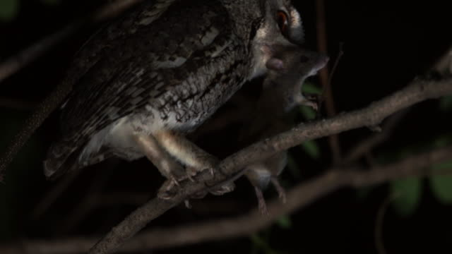 scops owl with a mouse in its mouth at night - jagd stock-videos und b-roll-filmmaterial