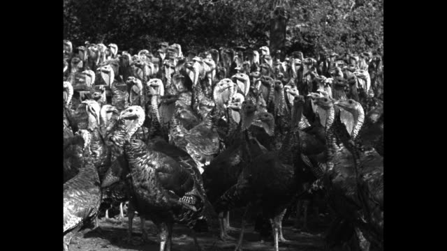 ws scores of turkeys at farm / the birds at feeding time / fowl with craned necks / single bird with full plumage / cu of another / birds in a tree /... - roast turkey stock videos & royalty-free footage