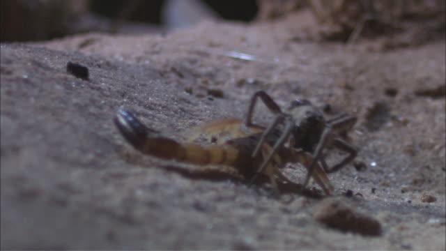 TS Scorpion carrying off dead wolf spider / Melbourne, Victoria, Australia