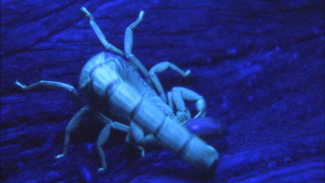 a scorpion catches a beetle. - emotion stock videos & royalty-free footage
