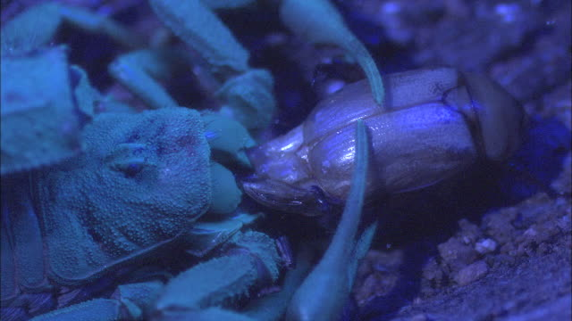 a scorpion eats a beetle while grasping it in its pincers. - emotion stock videos & royalty-free footage