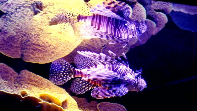 vídeos y material grabado en eventos de stock de escorpión peces y corales. - rascacio