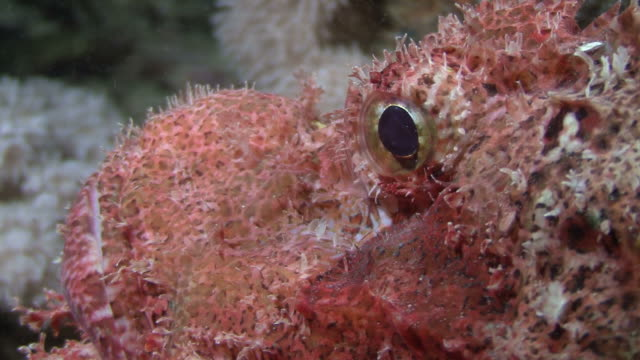 scorpion fish (scorpaenopsis oxycephala) eye cu at night on thistlegorm, red sea, egypt - pterois video stock e b–roll