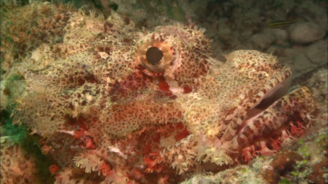 scorpion fish, eye shot, close up. borneo, malaysia, southeast asia - pterois video stock e b–roll