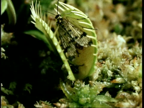 cu scorpion fly caught in venus flytrap, dionaea muscipula, united kingdom - carnivorous plant stock videos and b-roll footage